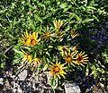 გაზანია Gazania rigensTreasure Flower (1).JPG