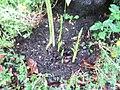 ヒガンバナの花芽.jpg