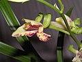 四季復興奇蝶 Cymbidium ensifolium 'Fu-Xing Odd Butterfly' -香港沙田國蘭展 Shatin Orchid Show, Hong Kong- (12147561576).jpg