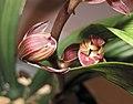 報歲熊貓 Cymbidium sinense 'Panda' -香港沙田國蘭展 Shatin Orchid Show, Hong Kong- (12235101265).jpg