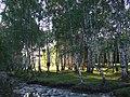 新疆-禾木喀拉斯乡白桦林中的晨曦 - panoramio.jpg