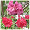 杜鵑花 Rhododendron cultivars -荷蘭園藝展 Venlo Floriade, Holland- (9166019186).jpg