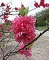 桃花-晚紅 Prunus persica 'Late Red' -上海植物園 Shanghai Botanical Garden- (17178523140).jpg