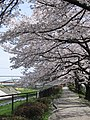 桜のアーチ - panoramio.jpg