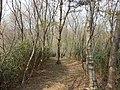 番ヶ森山 葉山団地側の林道 Path of Mt. Bangamori from Hayama - panoramio.jpg