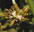短序脆蘭 Acampe papillosa -泰國清邁花展 Royal Flora Ratchaphruek, Thailand- (9255187262).jpg