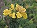糙蘇屬 Phlomis viscosa -牛津大學植物園 Oxford Botanic Garden- (9213292803).jpg
