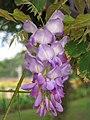 紫藤 Wisteria sinensis -香港大埔海濱公園 Taipo Waterfront Park, Hong Kong- (9198147705).jpg