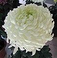 菊花-冰心在抱 Chrysanthemum morifolium 'Embracing Noble Heart' -香港圓玄學院 Hong Kong Yuen Yuen Institute- (11962013516).jpg