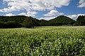 蕎麦畑 Buckwheat field - panoramio.jpg