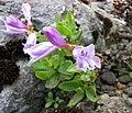 釣鐘柳屬 Penstemon barrettiae -比利時 Ghent University Botanical Garden, Belgium- (9198100863).jpg