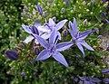 風鈴草屬 Campanula portenschlagiana -哥本哈根大學植物園 Copenhagen University Botanical Garden- (35924539153).jpg