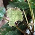 黑魔盤(厚葉盤花木) Dorstenia elata -香港公園 Hong Kong Park- (30154468916).jpg