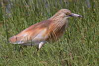 090504-squacco-heron-at-KAlloni-salt-pans