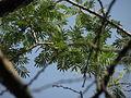 1-Acacia polyacantha 03.JPG
