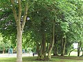 10. Hornbeam (Carpinus betulus) (3607676900).jpg
