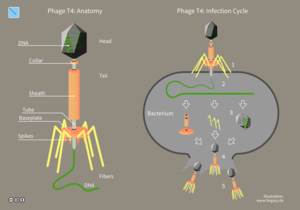 Bacteriophage - Anatomy and infection cycle of phage T4.