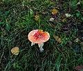12-10-21 Amanita muscaria 01.jpg