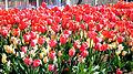 14-04-16 Zülpich Tulpen 02.jpg