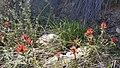 170330-FS-Angeles-MRM-002-GrizzlyFrFlatsTrail-Wildflower-MikeRobinMcguire (34084841830).jpg