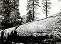 1921. Peeling a large ponderosa pine for beetle control. (36356873085).jpg