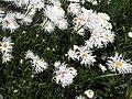 1 - Leucanthemum sp. 2.jpg