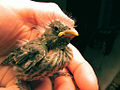 1st Baby Bird (Finch) Rehabber Of The Season.jpg