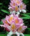 20050521065DR Kromlau (Gablenz-K) Rhododendronpark.jpg