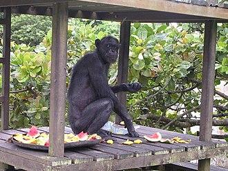 Gregoire (chimpanzee) - 62-year-old Gregoire