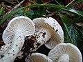 2010-10-18 Hygrophorus cossus (Sowerby) Fr 386989.jpg