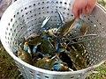 2011-365-246 Fiesty Crabs! (6117955914).jpg