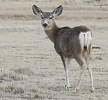 2012-mule-deer-female.jpg