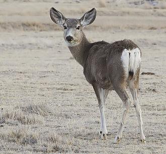 Mule Deer Female