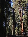 2013-09-20 10 57 41 General Sherman Tree.JPG