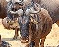 20130924 Ngorongoro5051 Gnou.jpg