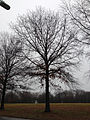 2014-12-24 14 55 10 Pin Oak along Sabrina Drive in Ewing, New Jersey.JPG