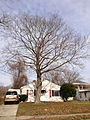 2014-12-30 12 07 14 'Crimson King' Norway Maple on Lanning Street in Ewing, New Jersey.JPG