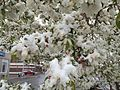 2015-04-08 07 45 56 A wet spring snow on Crabapple blossoms along Railroad Street in Elko, Nevada.jpg