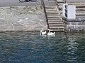 2017-07-21 (178) Cygnus olor (Swans) in Zell am See, Austria.jpg