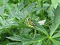 2017-07-22 (25) Miramella alpina (green mountain grasshopper) at plant in Dürrenstein (Ybbstaler Alpen).jpg