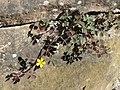 20170619Oxalis corniculata3.jpg
