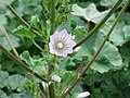 20171013Malva neglecta1.jpg