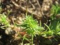 20171014Scleranthus annuus01.jpg