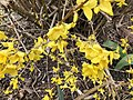 2018-03-27 12 02 19 Forsythia blossoms along Tranquility Court in the Franklin Farm section of Oak Hill, Fairfax County, Virginia.jpg
