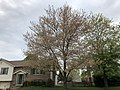 2019-04-25 10 06 01 A Red Maple heavily laden with mature seeds along Kirkwell Place in the Chantilly Highlands section of Oak Hill, Fairfax County, Virginia.jpg