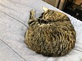 2020-03-23 12 49 12 A tabby cat sleeping on a bed in the Franklin Farm section of Oak Hill, Fairfax County, Virginia.jpg