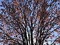 2020-04-09 09 37 50 View up into the canopy of a Red Maple heavily laden with immature seeds at the Franklin Farm Village Shopping Center in the Franklin Farm section of Oak Hill, Fairfax County, Virginia.jpg