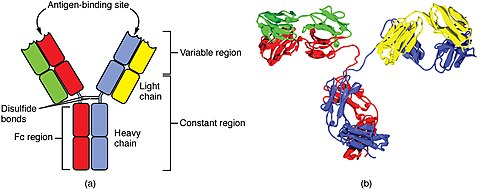 diagram showing the Y-shaped antibody. The variable region, including the antigen-binding site, is the top part of the two upper light chains. The remainder is the constant region.