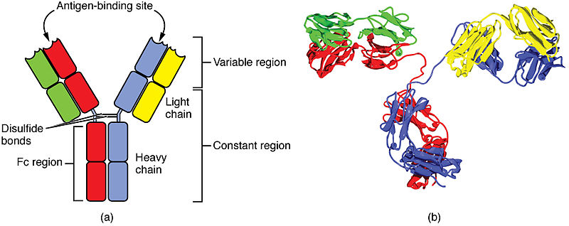 File:2220 Four Chain Structure of a Generic Antibody-IgG2 Structures.jpg