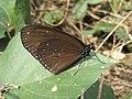 281.1斯氏紫斑蝶2(蔡鴻銘攝) (12944119915).jpg